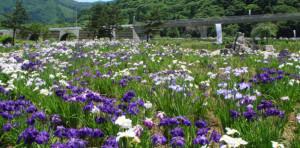 錦秋湖川尻総合公園「あやめ公園」7月上旬~中旬