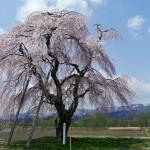 sシダレザクラ(鍵沢・町指定天然記念物)